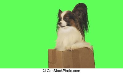 Beautiful dog Papillon in cardboard box is talking on green background stock footage video