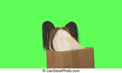 Beautiful dog Papillon in cardboard box looks around on green background stock footage video