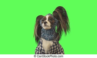 Beautiful dog Papillon in clothes and hat is looking at camera on a green background stock footage video