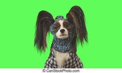Beautiful dog Papillon in clothes and hat is talking on a green background stock footage video