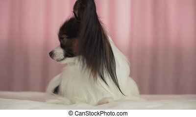 Beautiful dog Papillon lies on bed and barks stock footage...