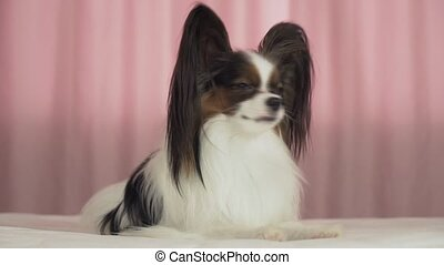 Beautiful dog Papillon lies on bed and looks around stock...