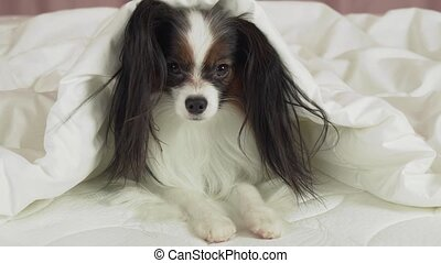 Beautiful dog Papillon lies under blanket on the bed and looks around stock footage video