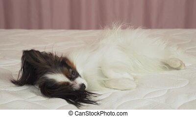 Beautiful dog Papilon lying on bed stock footage video -...