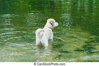 Beautiful dog standing in river