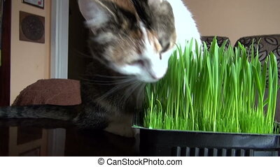 beautiful domestic cat eating grass