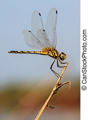 dragonfly - beautiful dragonfly resting on a branch in...