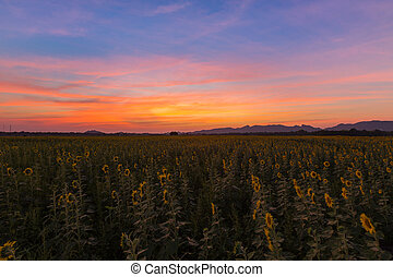Beautiful dramatic sunset sky over full bloom sunflower field
