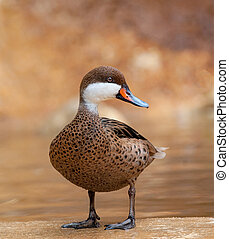 Beautiful duck on a nature background