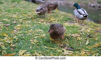 Beautiful ducks in the park walk