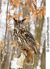 Beautiful Eagel owl Bubo Bubo