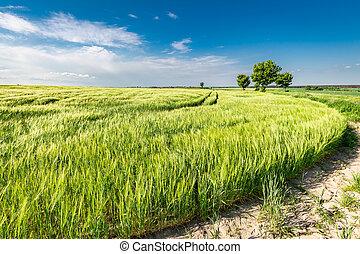Beautiful ears of grain on green field in summer
