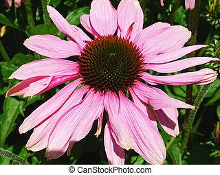 Beautiful echinacea close up