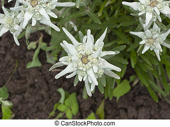 beautiful edelweiss flower in nature