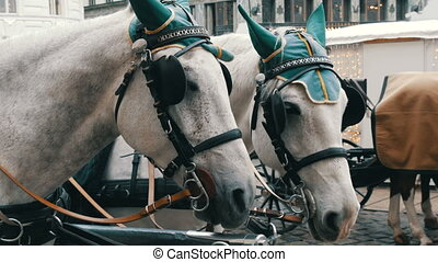 Beautiful elegant dressed white horses in green headphones, blindfolds and hats, Vienna Austria. Traditional carriages of two horses on the old Michaelerplatz background of Hofburg Palace