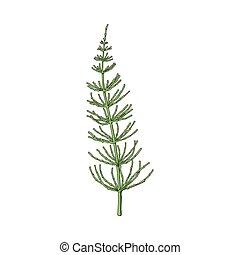 Beautiful, elegant hand drawn equisetum, horsetail twig,...