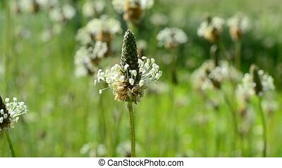 Beautiful English plantain flower blown by wind in a meadow