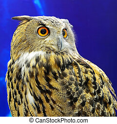Eurasian Eagle Owl - Beautiful Eurasian Eagle Owl