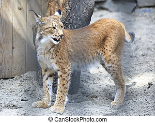 Beautiful Eurasian lynx enclosure. Novosibirsk Zoo. Russia.