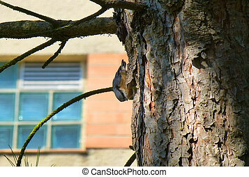Beautiful Eurasian nuthatch climbing on the side of a tree