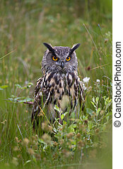 Beautiful European Eagle Owl - Large European Eagle Owl ...