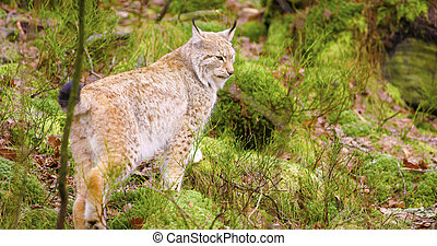Beautiful european lynx cub walking in the forest - Cute and...
