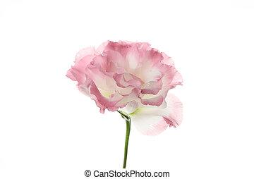 Beautiful eustoma flower isolated on white background