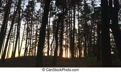 beautiful evening in the forest trees