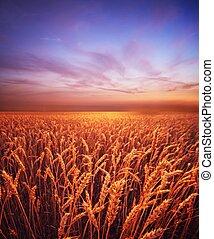 Beautiful evening sky over wheat field