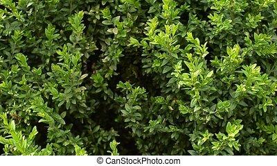 Beautiful evergreen buxus bush. Pan shot. - Closeup of...