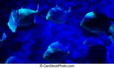 Beautiful exotic see fish in an aquarium. Underwater Scene. 4k