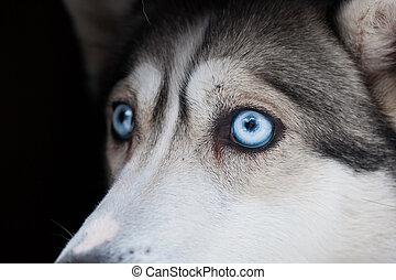 beautiful eyes of siberian husky dog
