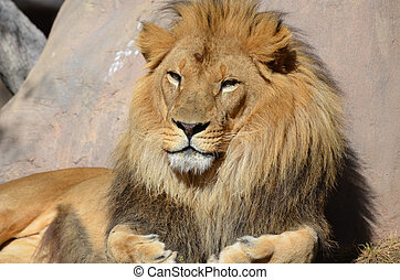 Beautiful Face of an African Lion on a Summer Day