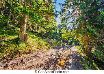 Beautiful fairy old pine forest in the early morning in the sunlight I