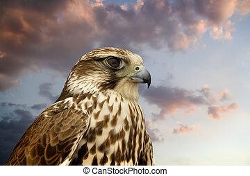 Beautiful Falcon contemplating sunset.
