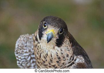 Beautiful falcon looking up at the camera