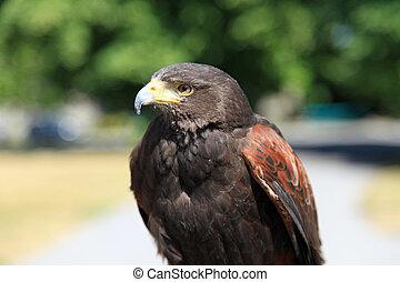 Beautiful Falcon