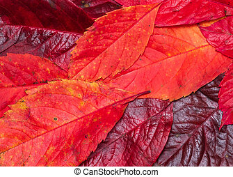 fallen autumn bright red leaves close-up
