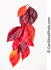 fallen autumn bright red leaves on a white background