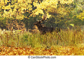 beautiful fallow deer in autumn forest