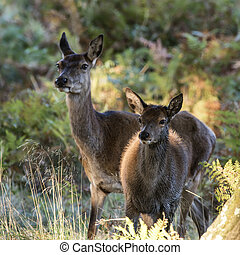 Beautiful Family group herd of red deer stag cervus elaphus during rut season in forest landscape during Autumn Fall