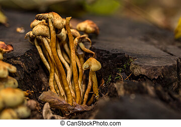 beautiful family of mushrooms in an old stump, close-up, autumn cloudy day