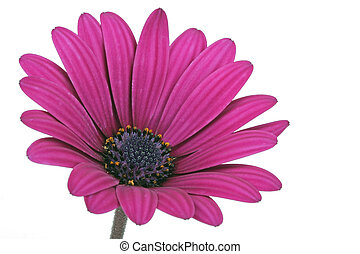 Beautiful fanfare flower on a white background