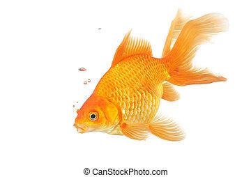 Beautiful fantail goldfish