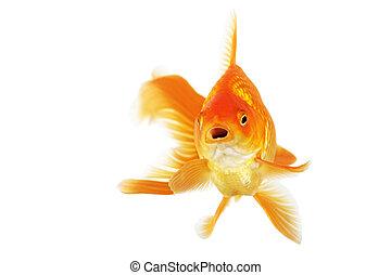 Beautiful fantail goldfish isolated in studio shot