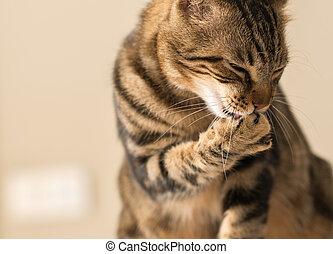 Beautiful feline cat licking himself at home. Domestic animal