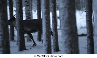 Beautiful female deer running around in a pine forest in Finland in slow motion