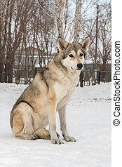 Beautiful female dog of Saarloos wolfhound in winter park