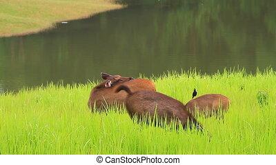 beautiful female samba deer standin - beautiful female samba...