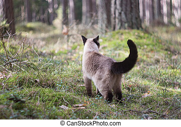 Female siamese cat walking in forest, on blurry background